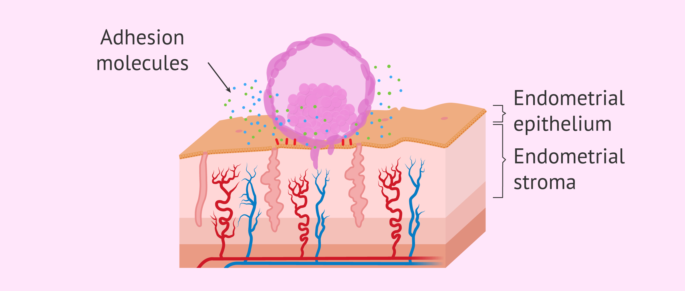 Imagen: Embryo adhesion