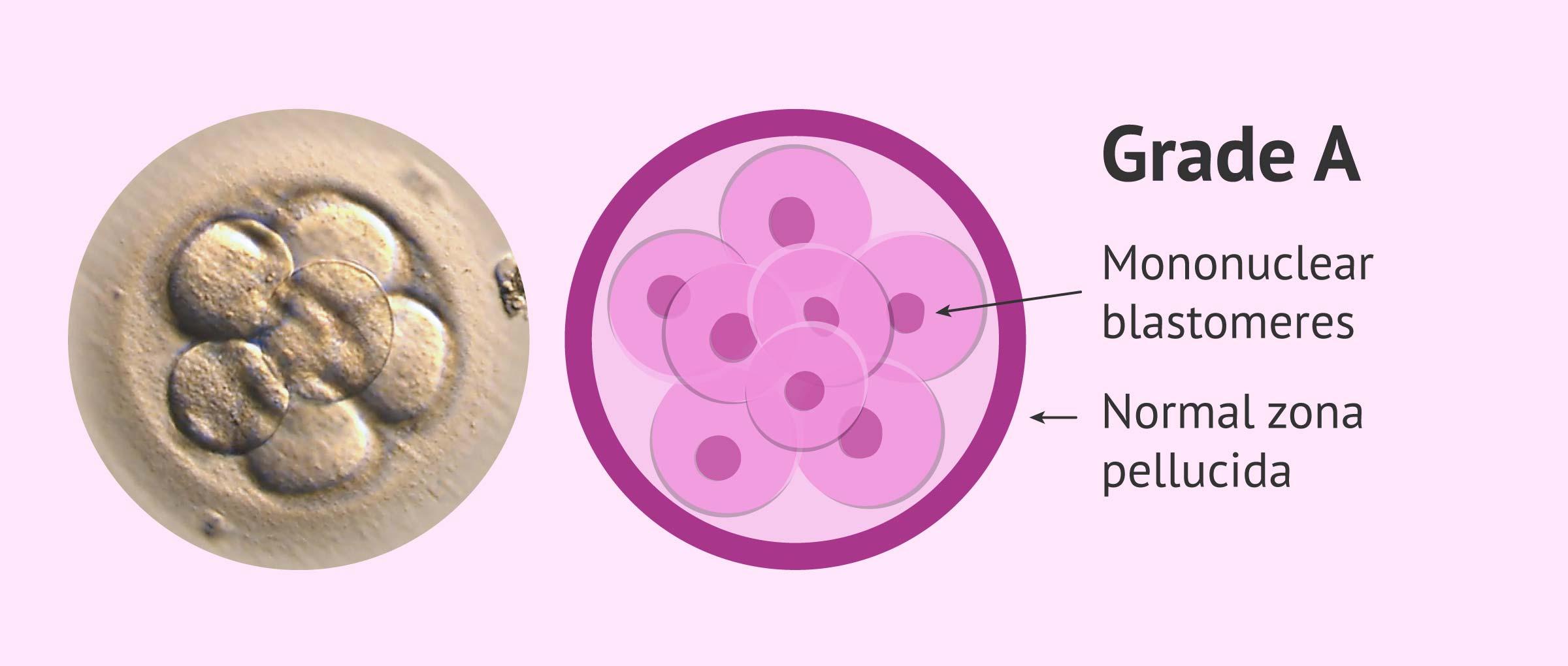 Imagen: Embryo grade A