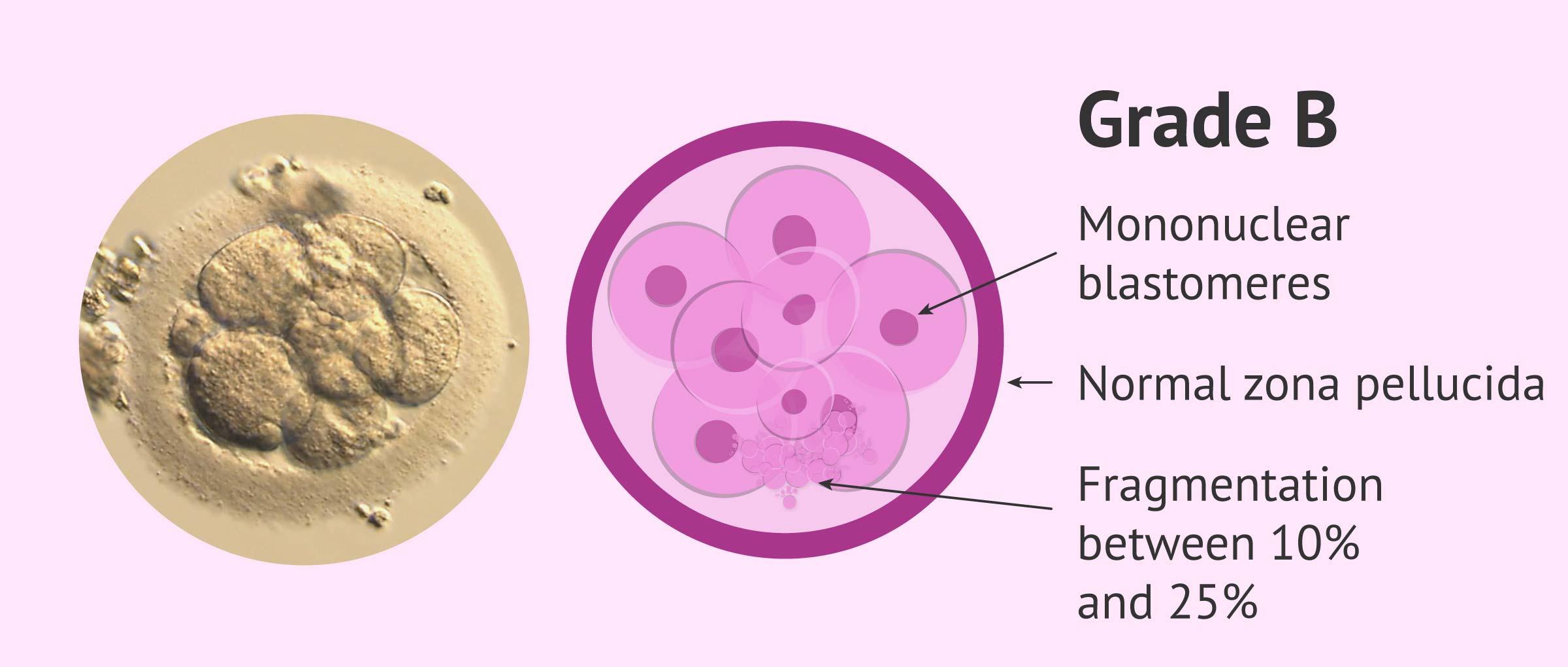 Imagen: Grade B Embryo