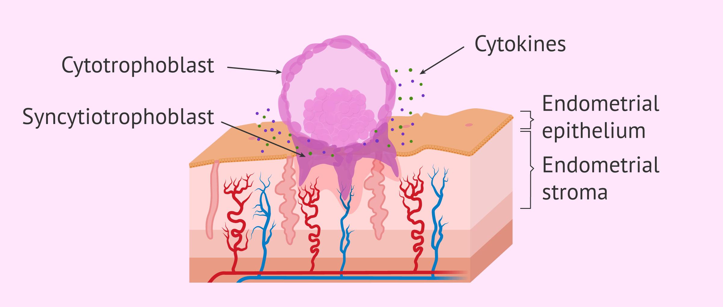Imagen: Embryo invasion