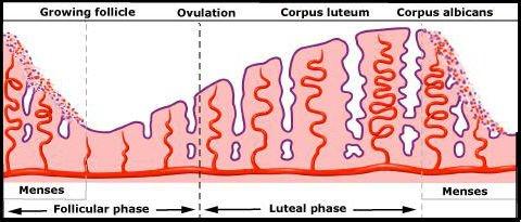 Толщина эндометрия в последней фазе цикла