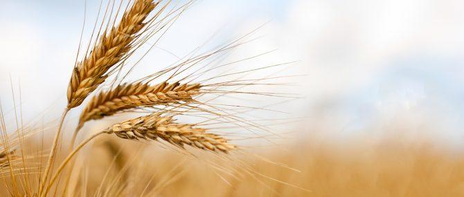 Wheat and barley pregnancy test