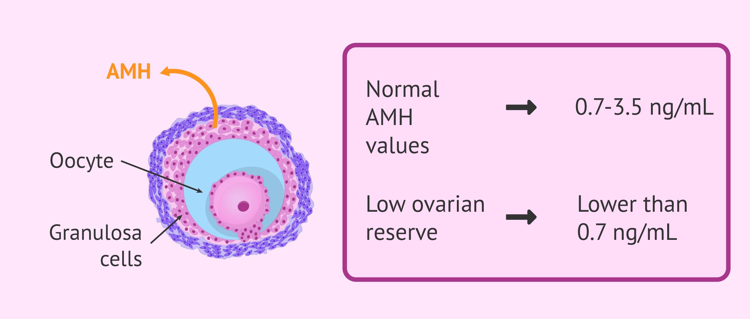 Anti-Mullerian Hormone (AMH) secretion