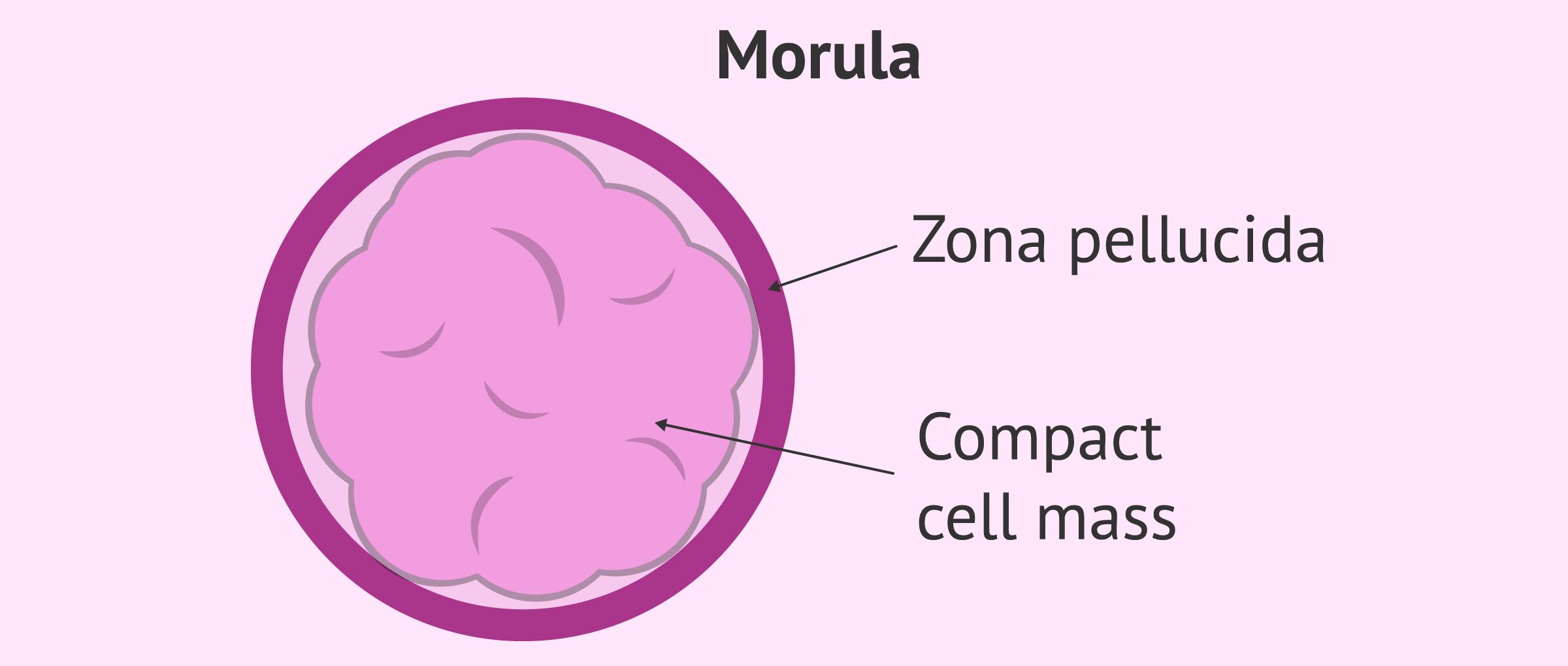 Imagen: Structure of a morula