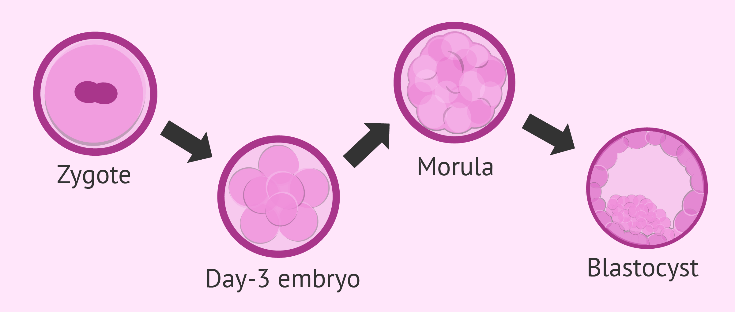 Embryo development after fertilization