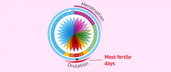Fertile days of a woman