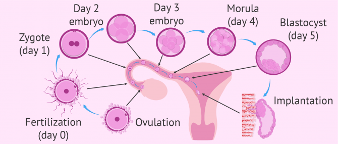 Separation of the embryo until implantation
