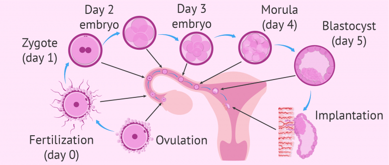 What Are The First Signs Amp Symptoms Of Embryo Implantation