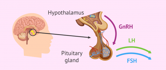 How the brain regulates hormone production in humans
