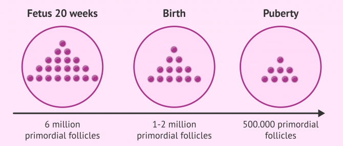 Imagen: Number of follicles in the female before birth to puberty