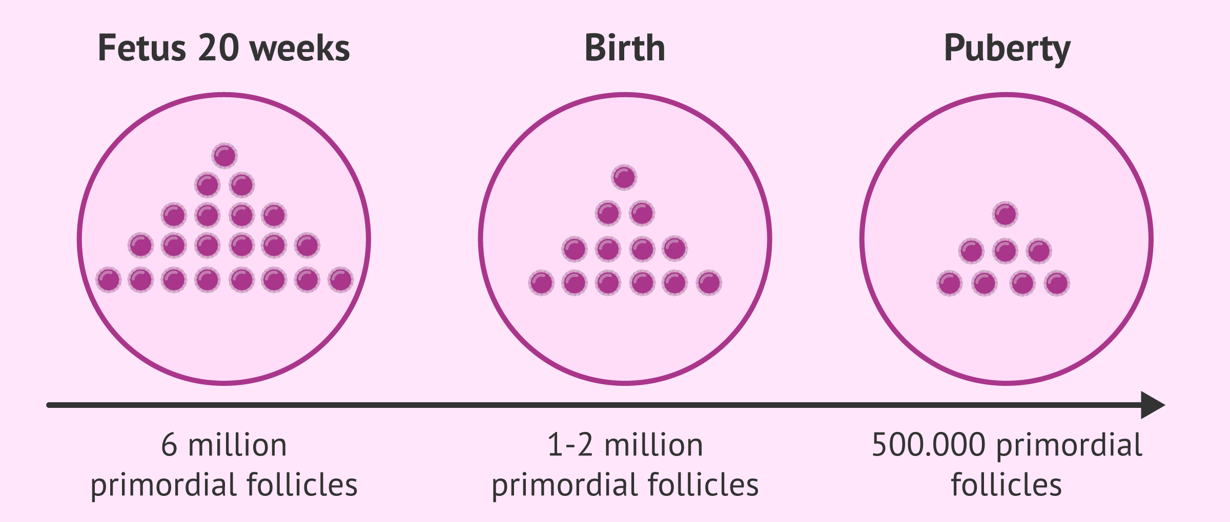 Number of follicles in the female before birth to puberty