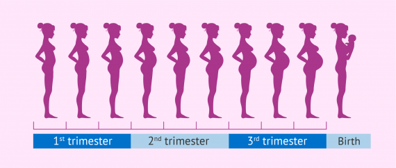 How fast does a pregnant woman's belly grow?