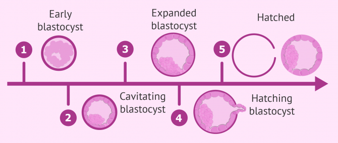 Blastocyst embryo development stages