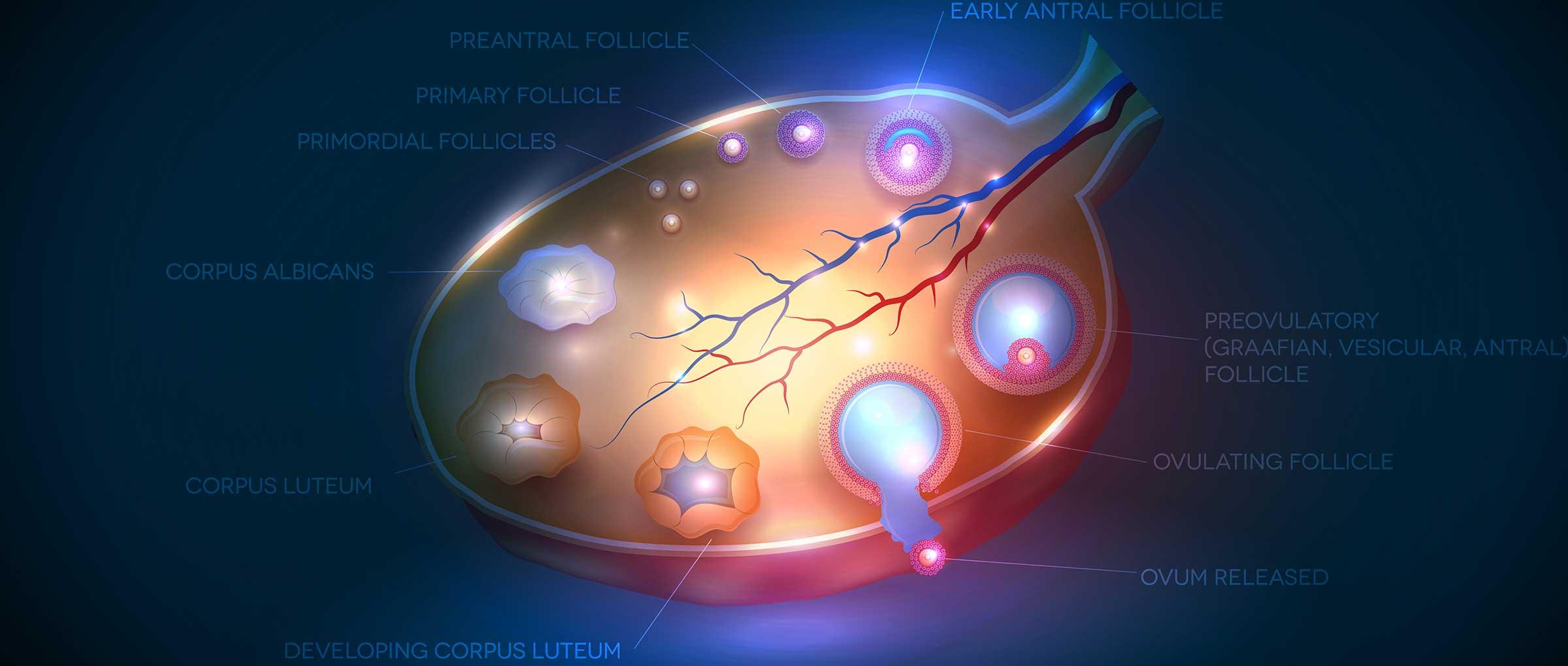 Follicle-stimulating hormone (FSH) function in females