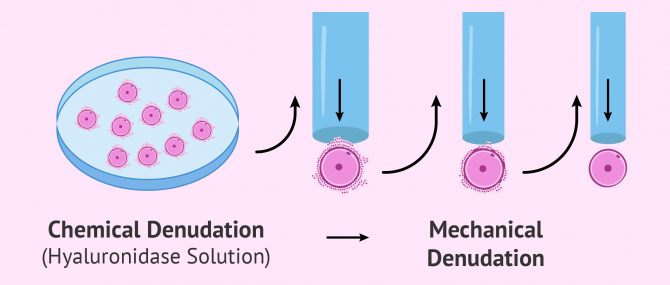 Imagen: Egg denudation process