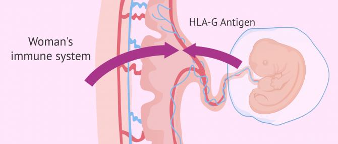 Immune system during pregnancy