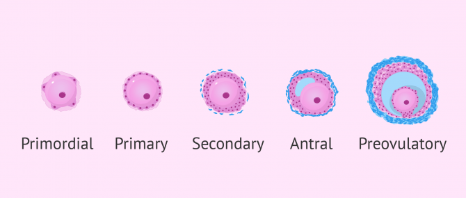 Development of follicles in ovaries
