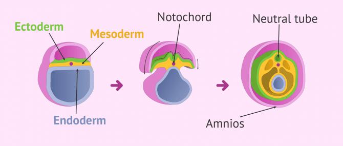 Imagen: Beginning of organogenesis in the embryo