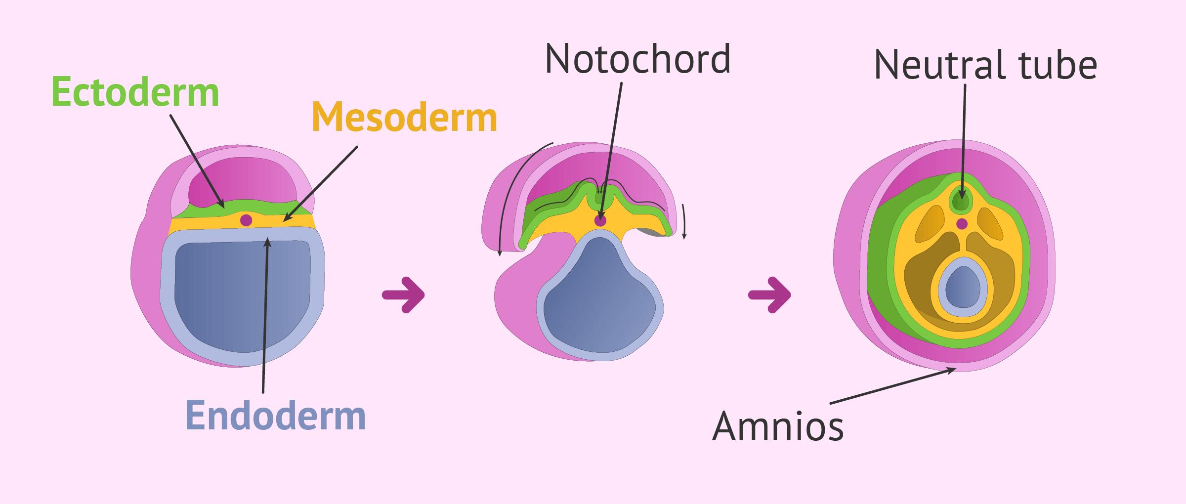 Beginning of organogenesis in the embryo