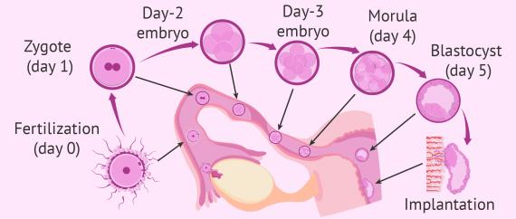 Third week of pregnancy: fertilization and embryo development