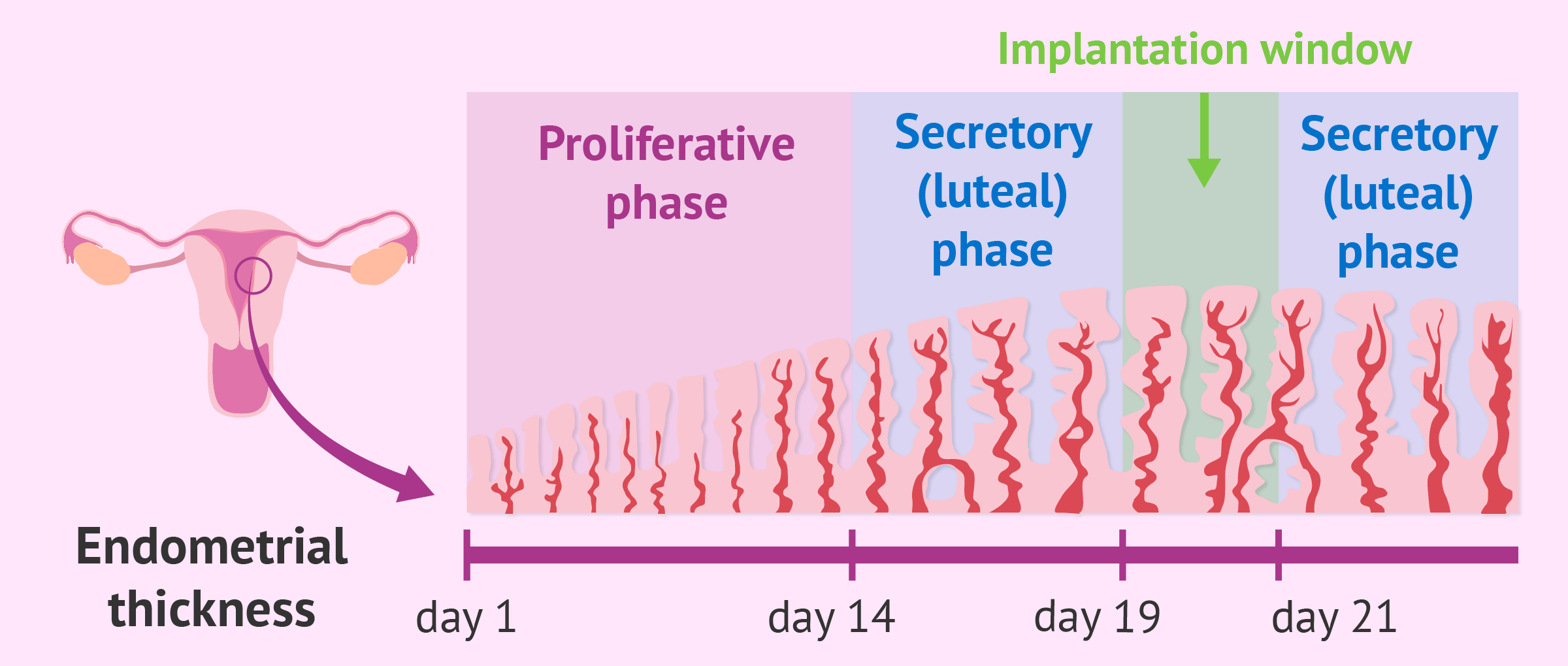 Phases of endometrial growth