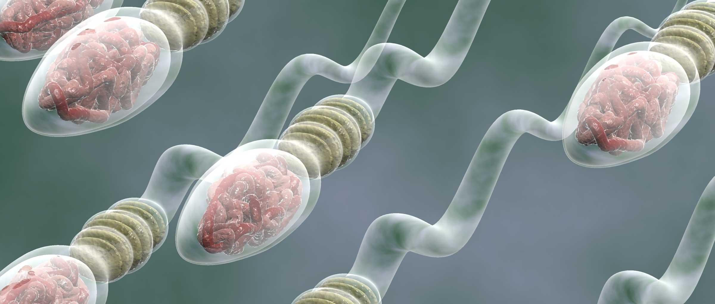 Sperm production process or spermatogenesis