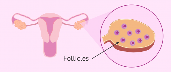Follicles in the ovary