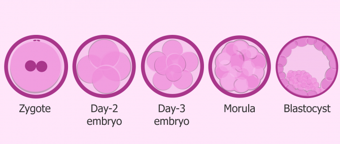 What's the Difference Between Zygote, Embryo & Fetus?