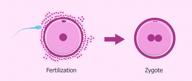 The zygote: first stage of embryo development after fertilization