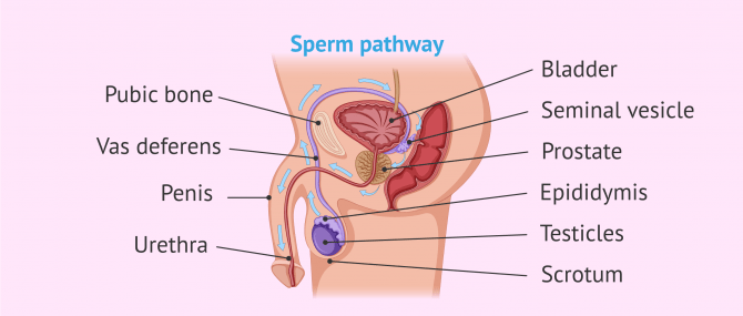 Imagen: Male reproductive system