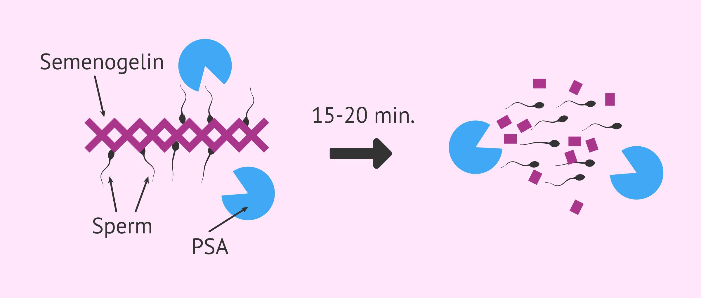 Semen density and liquefaction