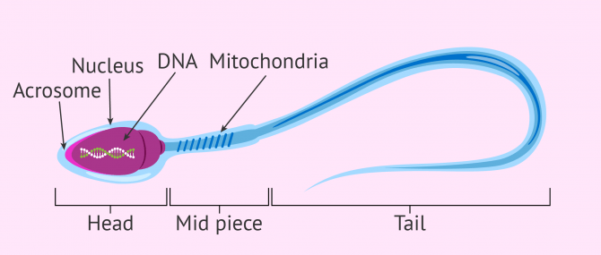 Structure of a mature human sperm cell