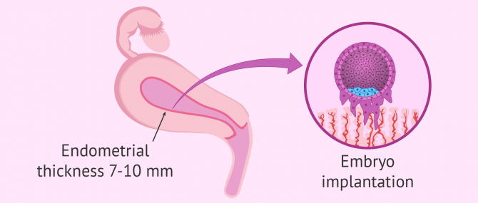 Endometrial receptivity and embryo implantation