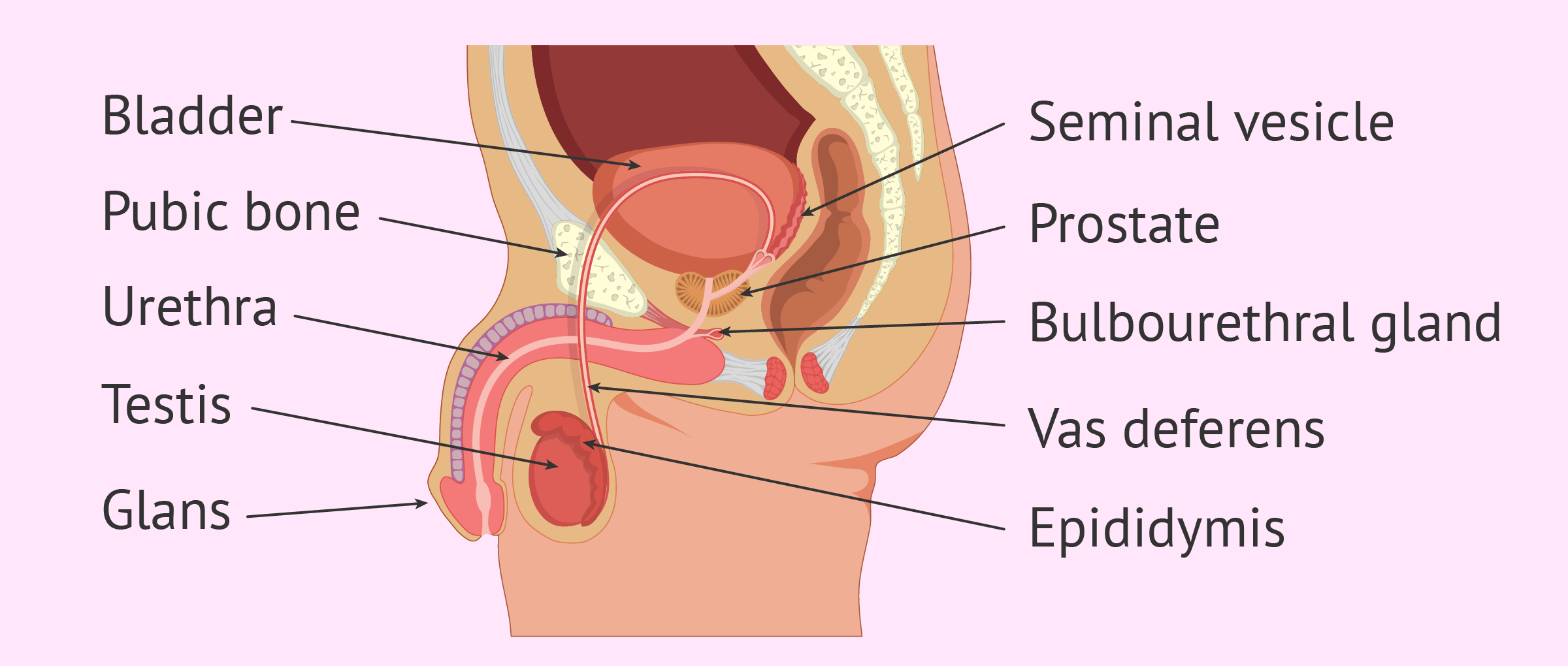 Male Fertility Parts Functions Of The Male Reproductive System