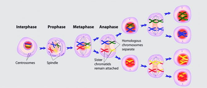 Meiosis is Required to Obtain a Viable Embryo