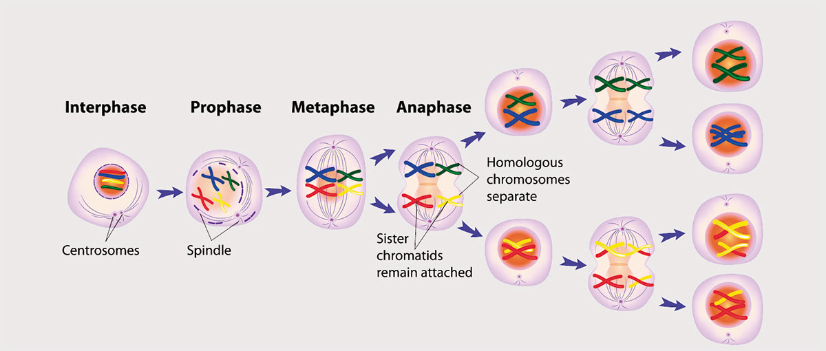 The reduction division or meiosis