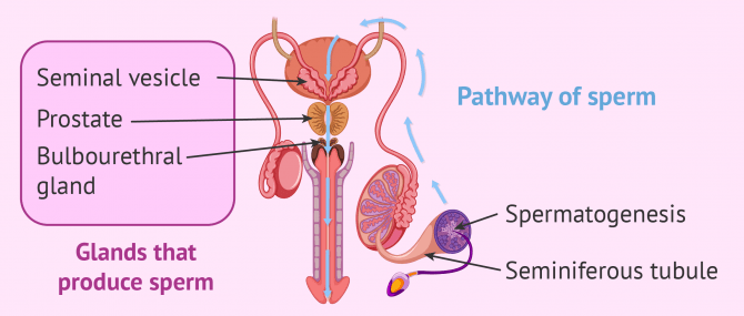Male reproductive organs that produce sperm