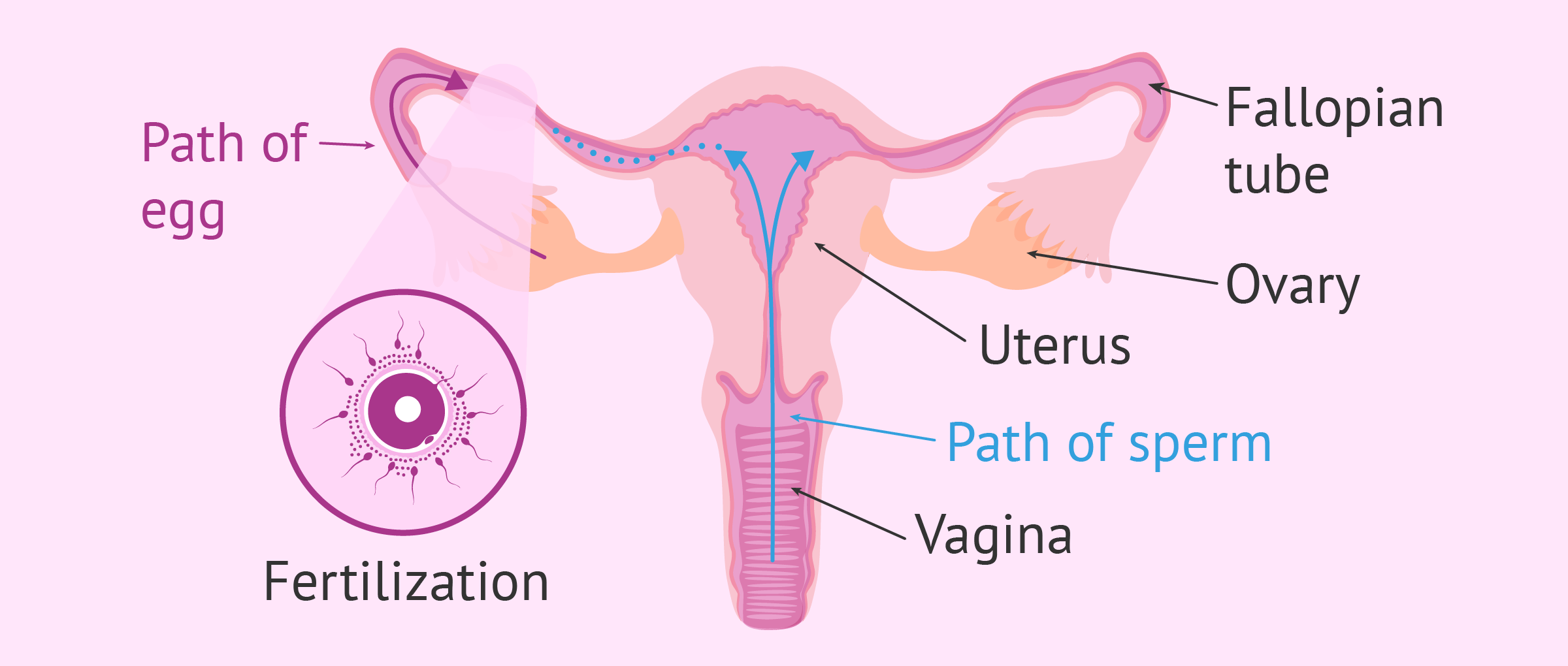 Sperm journey to the ovum