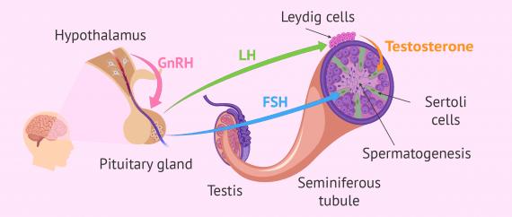 Imagen: Hormonal regulation of spermatogenesis