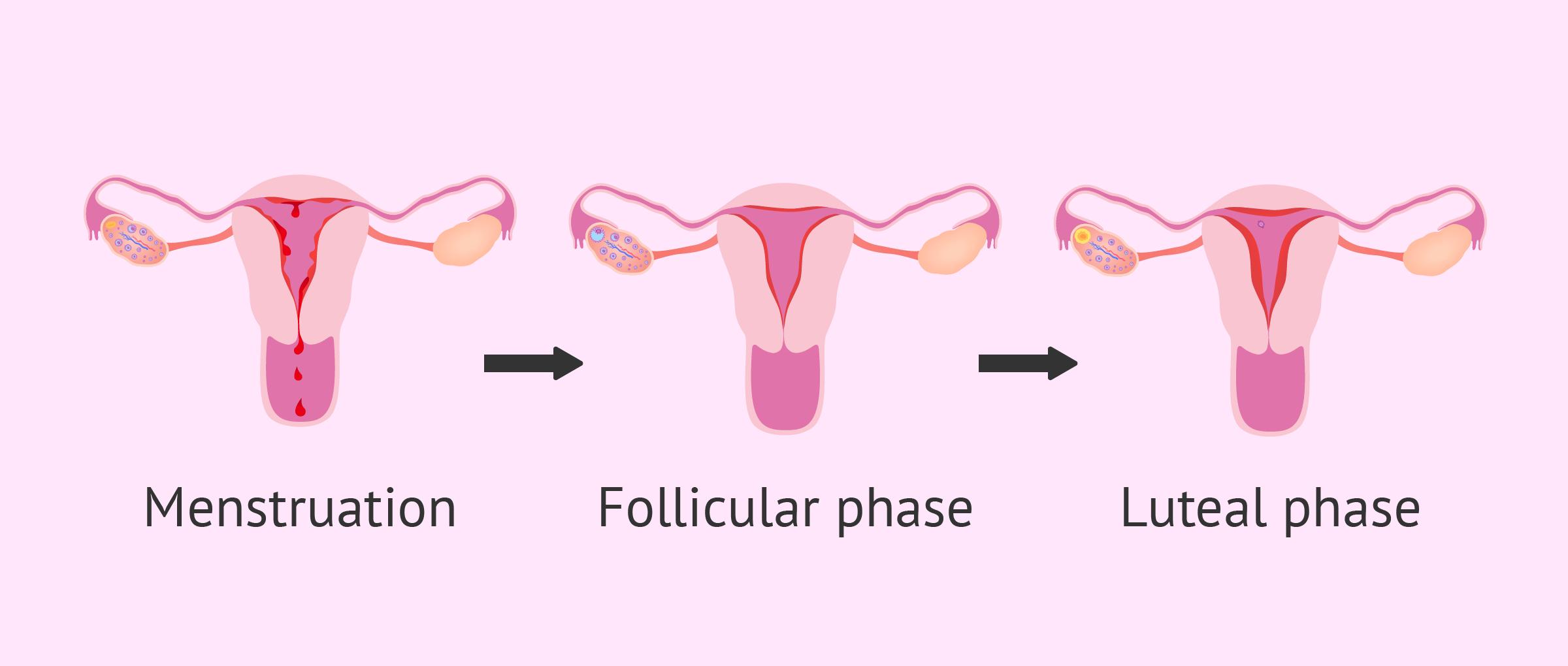 Endometrium status during period