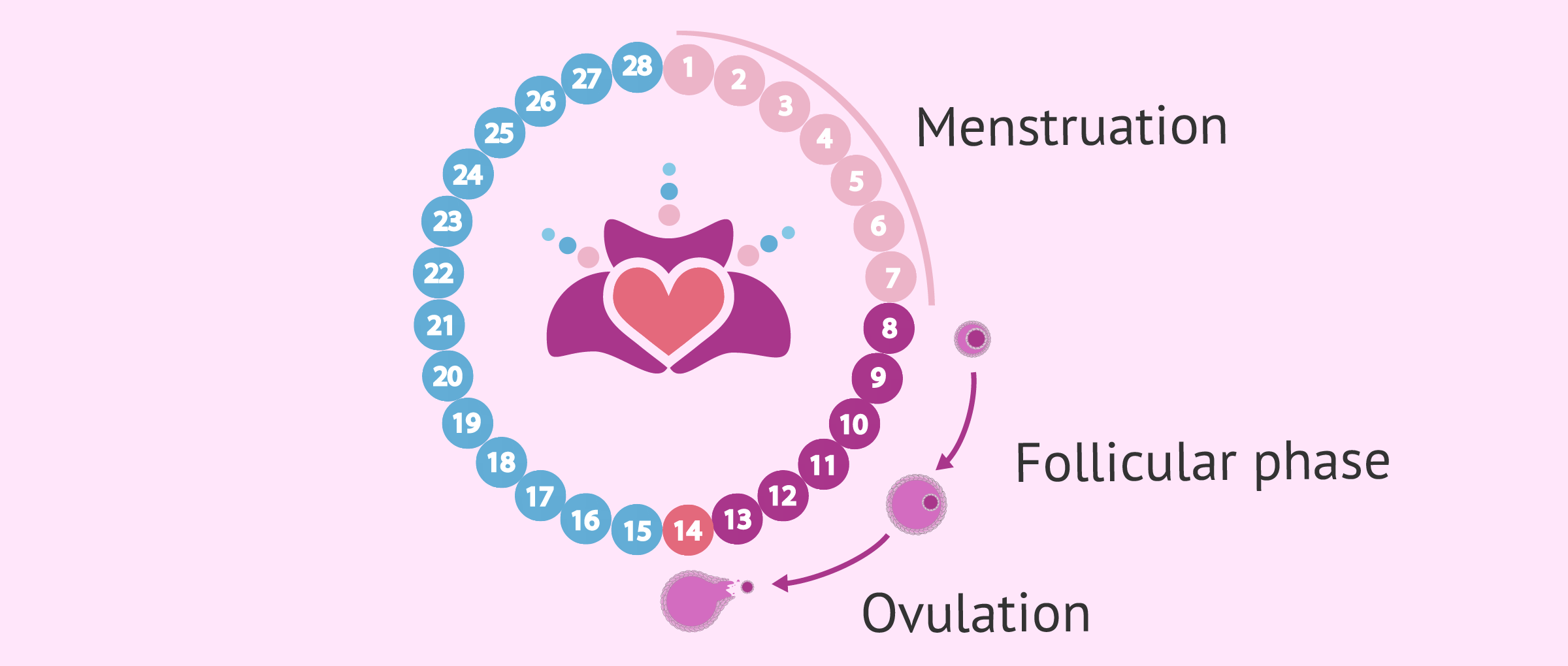 The First Two Weeks of Pregnancy - Ovulation & Conception