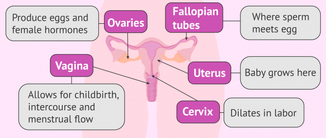 Flow chart of the internal female reproductive organs