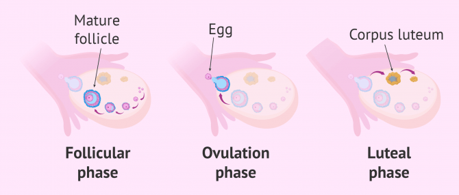 What Is Ovulation? – Date, Symptoms & Most Fertile Days