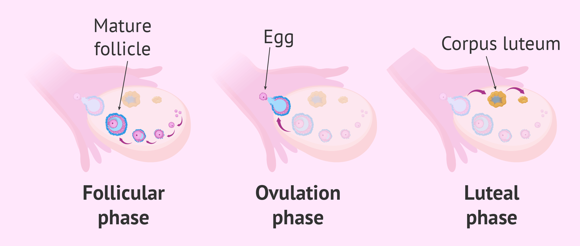 Release of eggs from ovary