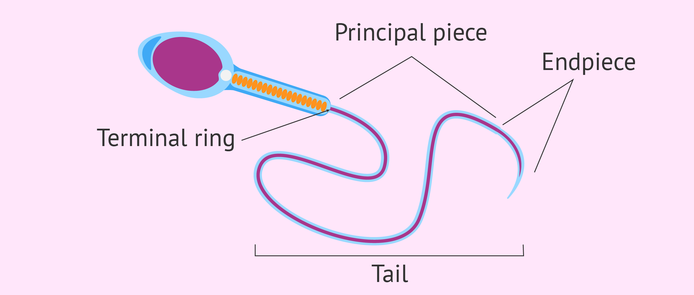 male sperm diagram