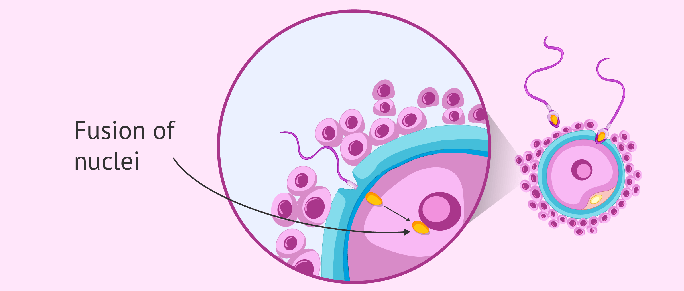 Fusion of egg and sperm nuclei