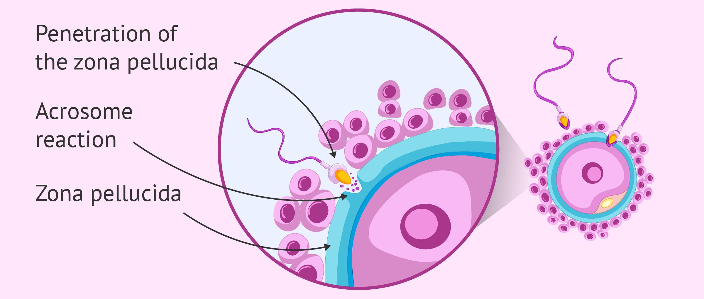 Penetration of the zona pellucida