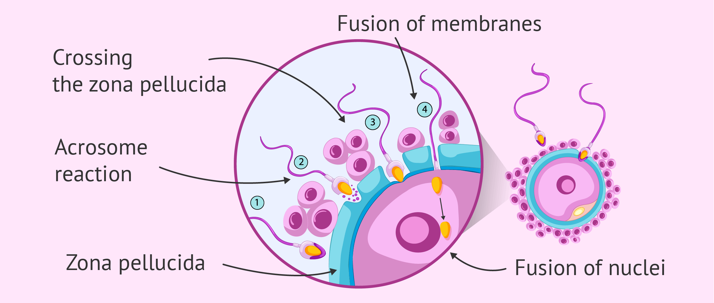 What Are the Steps of Fertilization in Humans?