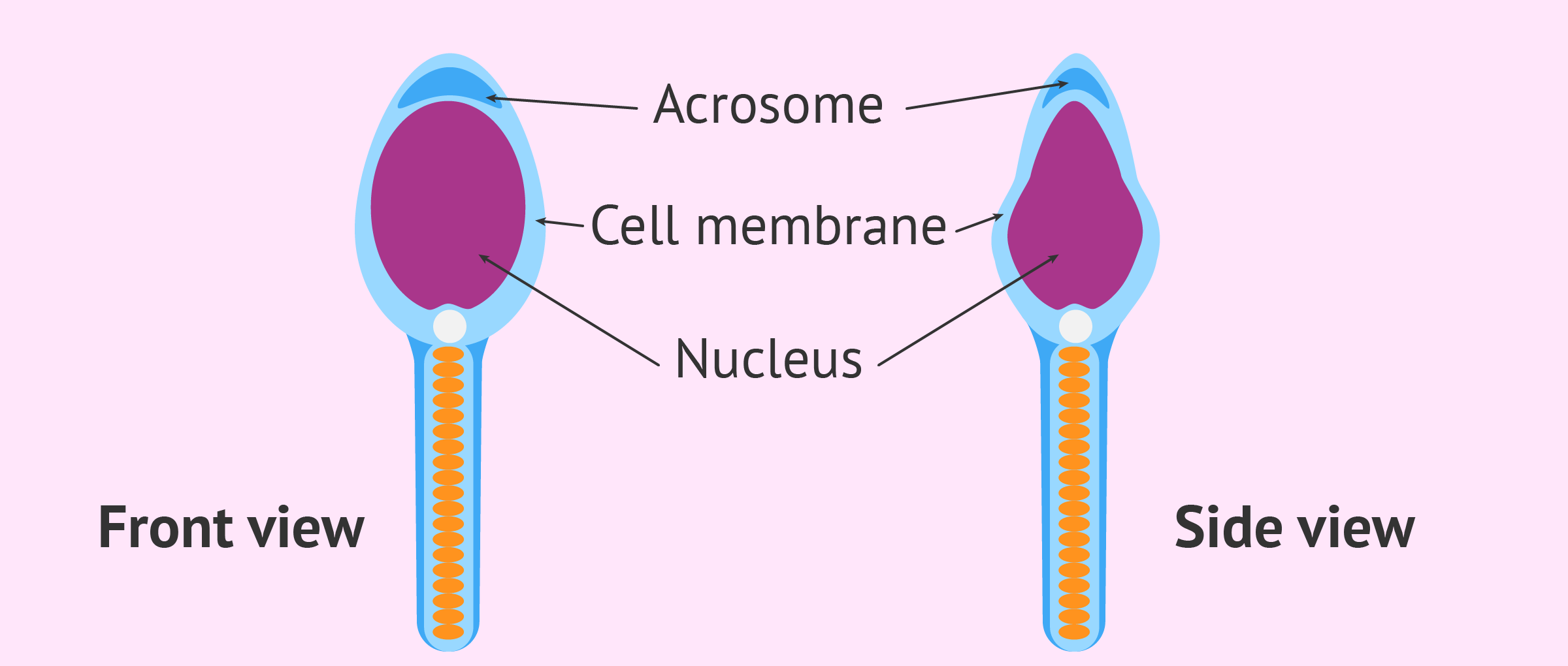 Structure of the sperm head