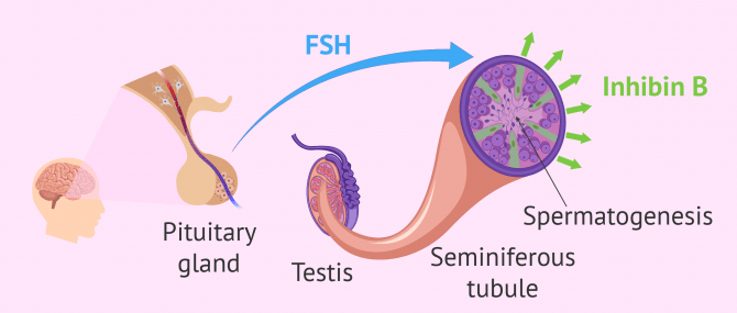 Hormone regulation of spermatogenesis